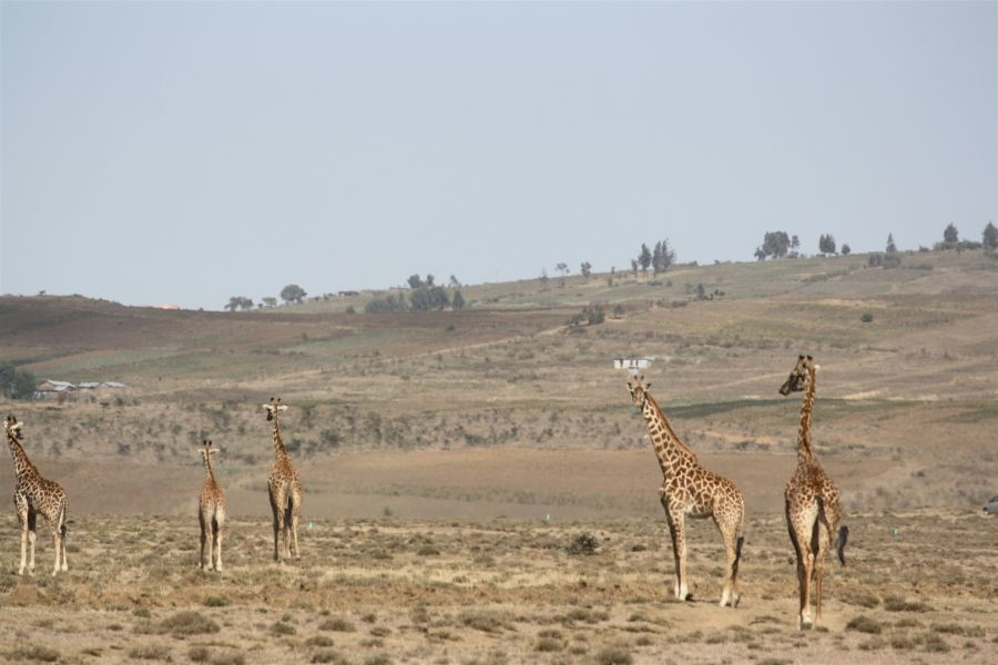 Giraffen beim Morgenlauf
